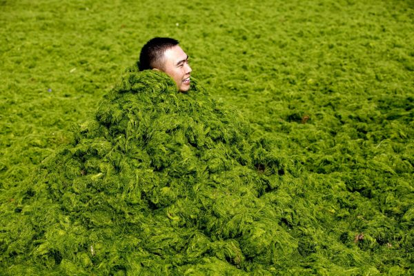 algae bloom transforms water green, green algae bloom china july 2013