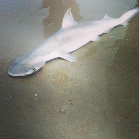 Bonnethead shark photo, Bonnethead shark stranding florida photo