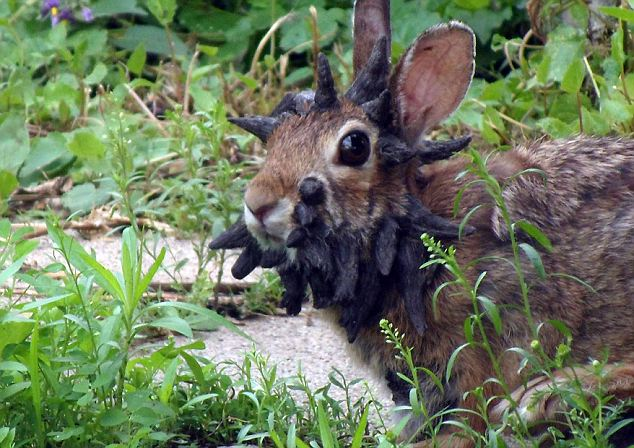 photo and video of horned rabbit with cottontail papilloma virus (CRPV) also known as Shope papilloma virus, photo and video of rabbit with cottontail papilloma virus (CRPV) also known as Shope papilloma virus, photo of mythical jackalope which is a rabbit with the antlers of an antelope