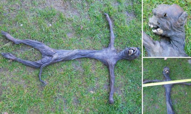 Alien-like Misshapen baboon found in South Africa july 2013