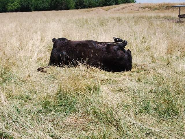 cow mutilation, animal sacrifice, alien mutilate livestock, livestock mutilated, alien responsible for cow mutilation and kill in us Henry County Missouri, alien, cow mutilation missouri, cow kill related to alien in missouri