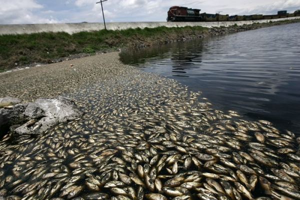 Apocalyptical Fish Die-Off: 500 Tonnes of Fish Killed by Illegal Dumping in Mexico Lagoon - July 2 2013, fish die-off in Mexico due to molasse spill in Hurtado reservoir: 500 tonnes of fish die in hurtado reservoir mexico july 2013, fish die-off mexico 2013, fish die-off hurtado reservoir talisco mexico 2013, pollution kills thousands of fish in mexico july 2013, july 2013 fish die-off, mass die-off, animal mass die-off 2013, strange phenomenon: fish die-off due to pollution in mexico july 2013