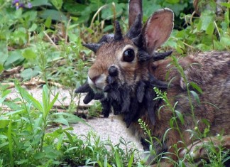 jacklope rabbit with horn, This mutant rabbit is the mythical Jackalope, A rabbit with horn, Jackalope, mutant rabbit with horn, Mutant Animal: Is This Weird Rabbit Called 'Frankenstein' the Mythical and Mysterious 'Jackalope'?, horned rabbit, 'Jackalope', mystic, mythical figures and symbols, 'Jackalope': mythical figures and symbols, horned mythical figures and symbols, horned rabbit mythical figures and symbols, strange phenomenon, mythical 'Jackalope', 'Jackalope', monster rabbit was first observed in Mankato Minnesota 2013, Frankenstein: The World's Weirdest Rabbit in Mankato Minnesota, Mythical Jackelope, cottontail papilloma virus (CRPV), Shope papilloma virus, rabbit with cottontail papilloma virus (CRPV) photo, rabbit with Shope papilloma virus video, rabbit with horns, rabbit with horns pictures, rabbit with horns photo, best photo of rabbit with horns, rabbit with horns pictures minnesota july 2013, horned rabbits, mythology: horned rabbits, weird horned rabbits, horned rabbits video july 2013, best video of horned rabbits usa, minnesota horned rabbit 2013, horned rabbit minnesota 2013, photo and video of rabbit with cottontail papilloma virus (CRPV) also known as Shope papilloma virus, photo and video of horned rabbit with cottontail papilloma virus (CRPV) also known as Shope papilloma virus, photo and video of rabbit with cottontail papilloma virus (CRPV) also known as Shope papilloma virus, photo of mythical jackalope which is a rabbit with the antlers of an antelope, Is this the mythical and mysterious 'Jackalope'