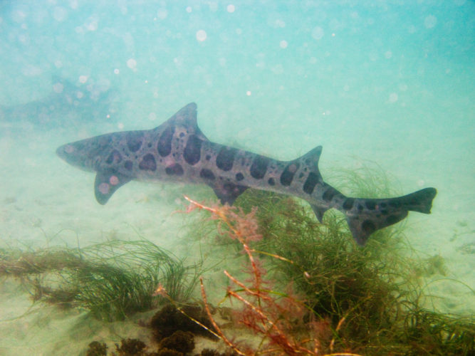 leopard shark at la jolla california, swim with leopard shark at la jolla california