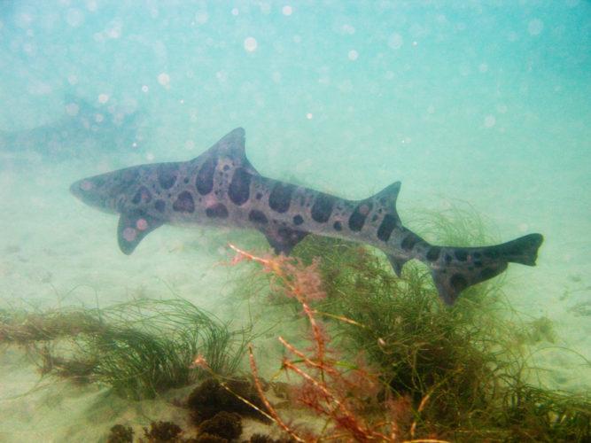 leopard shark at la jolla california, swim with leopard shark at la jolla california