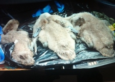 cygnets were discovered dead today as a result of the outbreak of botulism, heathrow botulism kills cygnet