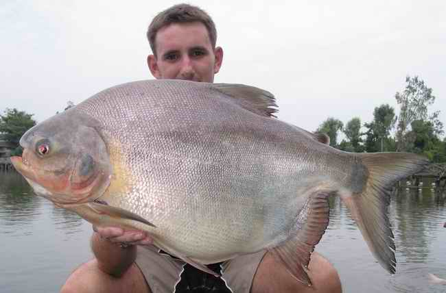 the pacu fish will eat your balls, dangerous fish: the pacu fish, tropical pacu fish found in europe and usa, best pacu fish video, best pacu fish photo, best pacu fish image, pacu fish video