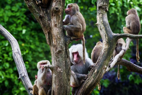 Apathic baboons in Emmen zoo form harem groups, what the heck with Apathic baboons in Emmen, why apes are apathic, apathy by apes and baboons, strange ape behavior: apathic baboons