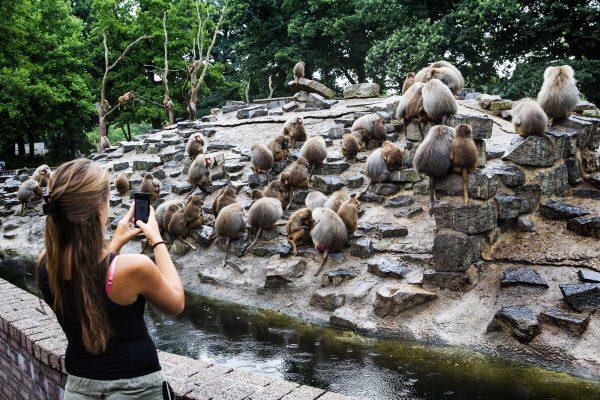 Apathic baboons in Emmen zoo, baboons strike in emmen netherlands, Hysterical baboons in Emmen Zoo, Baboons in Emmen give no shrinkage strange animal behavior, strange baboon behavior, weird ape behavior
