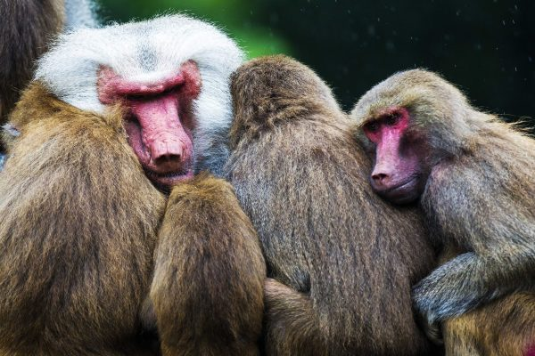 Apathic hamadryas baboons in Emmen zoo, , hamadryas baboons strange behavior, hamadryas baboons