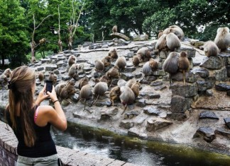 strange animal behavior, weird baboon behavior, Apathic baboons in Emmen zoo, baboons strike in emmen netherlands, Hysterical baboons in Emmen Zoo, Baboons in Emmen give no shrinkage strange animal behavior, strange baboon behavior, weird ape behavior