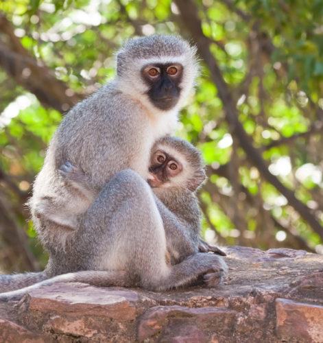 best velvet monkey photo