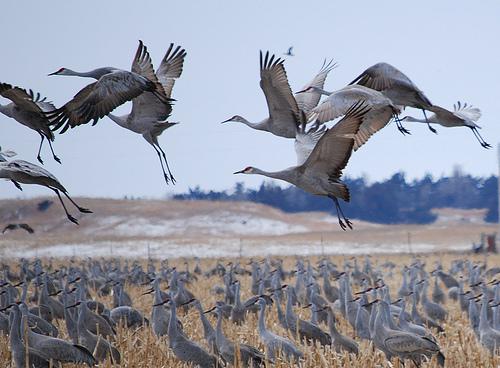 crane migration europe and crane noises