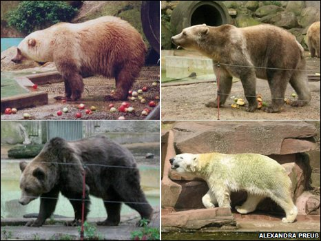 grolar bears, polar bears and grizzly bears, hybrid bears