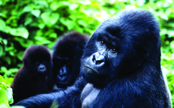 virunga national park Mountain gorillas, Virunga National Park, Democratic Republic of Congo, save virunga national parc, save wildlife in virunga national parc, soco wants to explore for oil in virunga national park, destruction of virunga national parc because of oil, black gold could destruct virunga national park, black gold problem, save virunga national park from oil exploration, wwf against oil exploration in virunga national park
