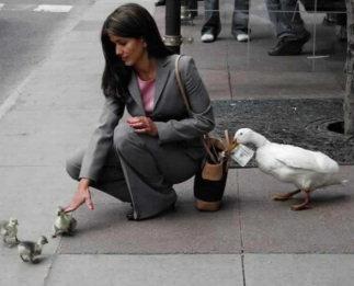 Anatidaephobia: the ducks are watching you, Anatidaephobia, duck phobia, weird phobia, weird psychic desease, strange phobia: Anatidaephobia or the duck trauma, are you scared of ducks? you may have Anatidaephobia, symptoms of Anatidaephobia, traumas leading to Anatidaephobia