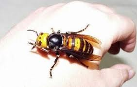 Asia giant hornet, dangerous asia giant hornet, giant hornet kills people in china septembre 2013