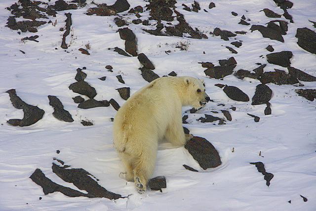 Grolar bears: a Grizzly - polar bear hybrid