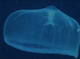 weird sea monster, sea monster caught on camera is deepstaria enigmatica, deepstaria enigmatica video, video of deepstaria enigmatica, deepstaria enigmatica open, The Coolest and Strangest Jellies, strange jellyfish, weird jellyfish video, best jellyfish video, amazing sea animals