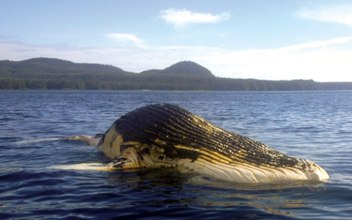 dead humpback whales found in alaska, dead whale, stranded whale, strange whale death alaska 2013, stranded whales alaska 2013
