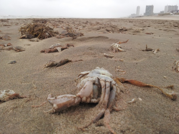 crabs mass die-off in Holland, zandvoort crab mass die-off, unknown and mysterious crab deaths on beaches near amsterdam in holland