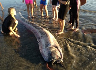 oarfish, us oarfish, new oarfish stranding california october 2013, california oarfish, california oarfish october 2013, 2 oarfish strandings in california in one week, what is going on in California waters: 2 oarfish and one rare whale die within a week, Second rare oarfish washes up in Southern California, california oarfish stranding, mysterious stranding of oarfishes in california, what is killing oarfish in california, second oarfish within a week in california, why are so many oarfish beaching in california, us oarfish, strange earth phenomenon, mysterious strandings, mysterious deep sea creatures strandings, strandings october 2013
