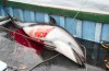Dolphins killed in Peru for shark baits