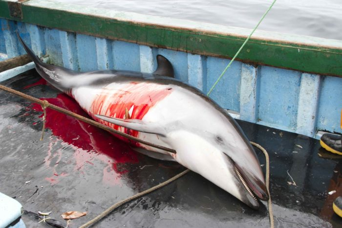 Dolphins killed in Peru for shark baits, dolphins, mass die-off, ocean ecosystem, video dolphin hunt in peru, dolphin hunt in peru video, dolphin fishing in peru video, dolphin slaughter in peru video, dolphin shark trade, dolphin used as bait for shark fishing, dolphin slaughter, dolphin human mass die-off, peru kills dolphin, illegal dolphin's killing in Peru, Each Year 10,000 Dolphins are Illegally Killed for Shark Bait in Peru, Dolphins killed for shark bait in Peru, Dolphins killed 'illegally' in Peru, Dolphins killed for bait to catch endangered sharks in Peru, Dolphins slaughtered for human consumption in Peru, Dolphin Slaughter Fueled by Illegal Shark Trade, mass die-off, dolphin, shark bait, peru, october 2013
