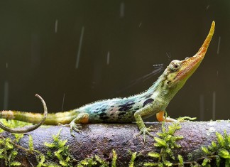 Pinocchio lizard, Pinocchio lizard photo, strange animal, strange lizard, extinct lizard, long-nosed lizard, long-nosed pinocchio lizard, weird lizard, strange pinocchio lizard, strange extinct lizard: the pinocchio lizard, discover the pinocchio lizard, amazing discovery: the pinacchio lizard has a long nose, the long nose of the pinocchio lizard, photo pinacchio lizard