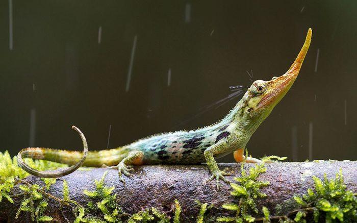 Pinocchio lizard, Pinocchio lizard photo, the lond-nosed Pinocchio lizard photo, strange animal, strange lizard, extinct lizard, long-nosed lizard, long-nosed pinocchio lizard, weird lizard, strange pinocchio lizard, strange extinct lizard: the pinocchio lizard, discover the pinocchio lizard, amazing discovery: the pinacchio lizard has a long nose, the long nose of the pinocchio lizard, photo pinacchio lizard