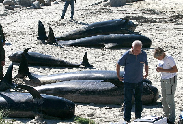 What did kill 22 pilot whales in Galicia spain on october 7 2013?, 22 Whales wash up on beach in galicia spain october 2013, 22 whales die in spain, galicia whale die-off, mysterious deaths of 22 whales in spain, mysterious animal death, whales die in La coruna, mysterious cause of whale deaths in La coruna, mysterious whale death, whales die mysteriously in la coruna spain, mysterious whale mass die-off spain