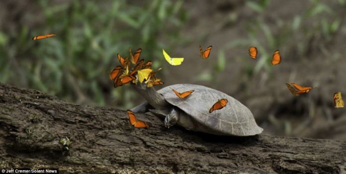 strange animal behavior: butterfly and turtle tears, Butterflies Drink the Tears of Turtles, butterfly and turtle, butterflies and turtle tears, butterfly drink turtle tears, Bees Drinking Turtle Tears, insect and turtle tears, insects drink turtle tears, strange insect behavior: butterflies drink turtle's tears, The butterflies that rely on TURTLE TEARS to survive, Butterflies Drink Turtle Tears for Their Salt, butterflies, bees, drink, turtle, tears