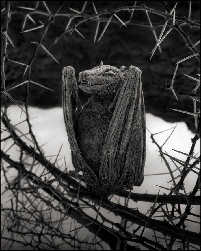 Calcified bat at lake natron tanzania by Nick Brandt, Nick Brandt photo, Nick Brandt calcified animals, Nick Brandt calcified animals lake Natron, Nick Brandt calcified animals lake Natron tanzania, ACROSS THE RAVAGED LAND, nick brandt ACROSS THE RAVAGED LAND, nick brandt photo