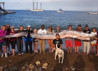oarfish, giant oarfish, mysterious oarfish california 2013, california oarfish october 2013, terrifying sea creature: giant oarfish, oarfish california october 2013, giant oarfish california october 2013