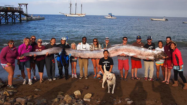 oarfish, giant oarfish, mysterious oarfish california 2013, california oarfish october 2013, terrifying sea creature: giant oarfish, oarfish california october 2013, giant oarfish california october 2013, Giant oarfish discovered in California - October 13 2013
