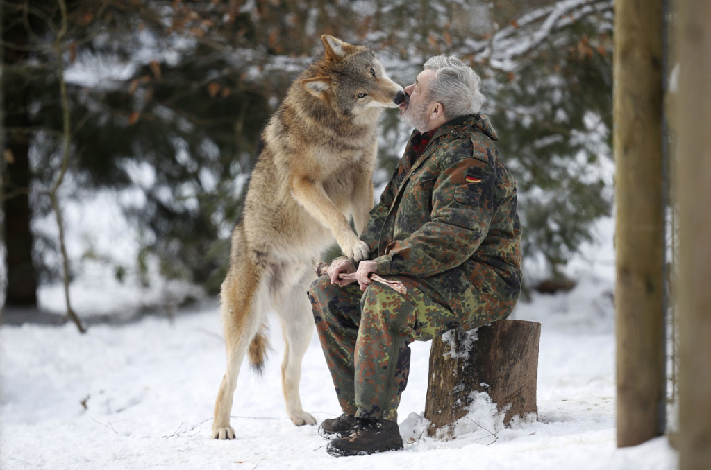 wolf, wolf photo, wolf hunt, more hunt permits than wolves in montana, wolf hunt in Montana, montana wants to exterminate wolf, wolf extermination in Montana, save the wolf in Montana, Would You Pay $19 To Kill a Wolf?, absurd: 625 wolves left in Montana, over 6000 permits to hunt them issue, This year, the fee for a license to kill a wolf in the state of Montana was dropped to only $19, , wolf in Montana, montana wolf in danger, Would you pay $19 to kill a wolf? In Montana 6'000 people just did, kill wolf in montana, montana wolf hunt, hunting montana, montana wolf hunting
