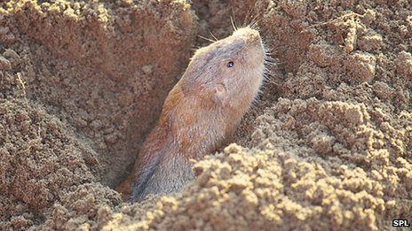 gophers, gopher photo, photo of gopher, gopher and mima mounts, gophers are responsible for the formation of mima mounds, Gophers make mima mounds, Plains pocket gophers are responsible for Mima mounts