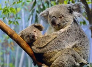 koala, koala mating, koala sex, koala sex sound, koala mating cry, koala mating sound, koala photo, koala picture, koala strange sounds, koala sound research