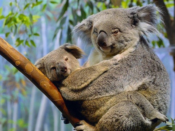 koala, koala mating, koala sex, koala sex sound, koala mating cry, koala mating sound, koala photo, koala picture, koala strange sounds, koala sound research