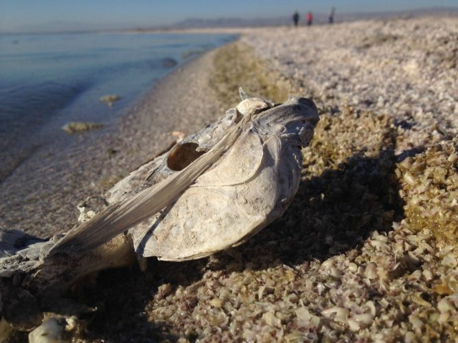 fish bones cover Salton Sea beaches, fish bones cover Salton Sea beaches video, fish bones cover Salton Sea beaches picture, Salton Sea beaches are covered by dead fish bones