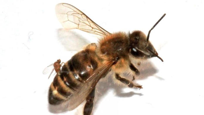 'Zombie' Bees, 'Zombie' Bees usa, 'Zombie' Bees northeast usa, 'Zombie' Bees 2014, 'Zombie' Bees january 2014, 'Zombie' Bees, waht are 'Zombie' Bees, which parasite attacks bees?, what causes 'Zombie' Bees, are 'Zombie' Bees dangerous?, strange bee behavior: zombie bees, zombie bees found in northeast of usa january 2014, 'Zombie' Bees spread in usa, us 'Zombie' Bees 2014, 'Zombie' Bees in the usa 2014, 'Zombie' Bees northeast january 2014