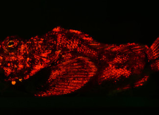 fish bioluminescence, fish bioluminescence is more widespread than previoulsy estimated, scientists show evidence of fish bioluminescence in more than 180 species of marine fish, fish fluorescence, fish luminescence, fish and light in fish, bioluminescence by fish