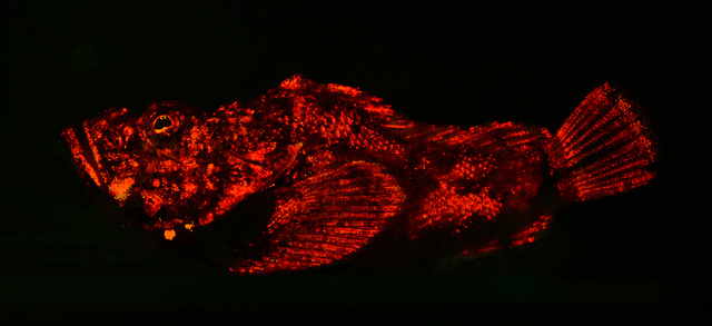 Diversity of fluorescent patterns and bioluminescence in fish, fish bioluminescence, fish bioluminescence is more widespread than previoulsy estimated, scientists show evidence of fish bioluminescence in more than 180 species of marine fish, fish fluorescence, fish luminescence, fish and light in fish, bioluminescence by fish