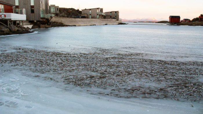 fish ice norway, fish in ice 2014, fish caught in ice january 2014, fish in ice norway 2014, strange phenomenon norway: fish caught in ice