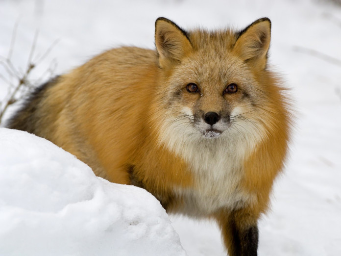 fox, fox photo, hunting behavior, animal strange behavior, fox hunting behavior, fox, fox photo, fox in the snow, Photo of a fox in the snow, fox hunting behavior, fox hunting behavior, fox spots prey under 3 feet snow,fox's magnetic sense, fox hunting behavior, strange hunting behavior of fox, A red fox pinpoints field mice buried deep beneath the snow using his sensitive hearing and the magnetic field of the North Pole to plot his trajectory, fox weird hunting behavior,