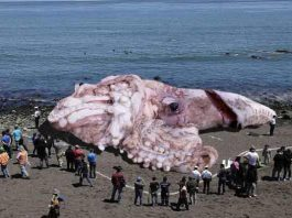 giant radioactive fukushima squid, giant radioactive fukushima squid hoax, giant radioactive fukushima squid picture, giant radioactive fukushima squid video