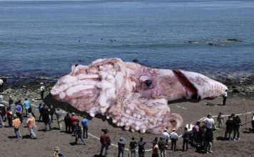 giant radioactive fukushima squid, giant radioactive fukushima squid hoax, giant radioactive fukushima squid picture, giant radioactive fukushima squid video