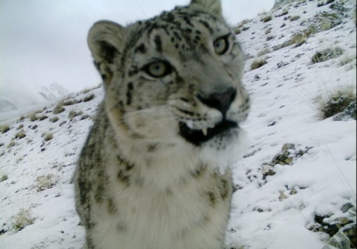 snow leopard northern Pakistan January 2014, snow leopard news 2014, snow leopard photo 2014