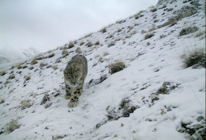 snow leopard news, best snow leopard photo, amazing snow leopard, snow leopard camera photo, where do snow leopard live, any photo of snow leopard?, snow leopard photographed in northern Pakistan in January 2014
