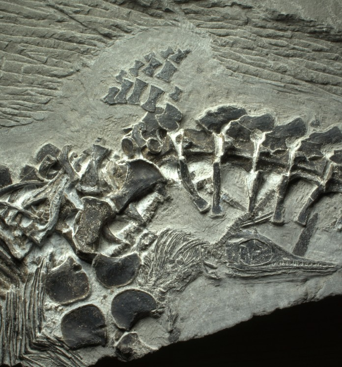 Oldest fossil to capture a vertebrate live birth. Photo: PLOS, paleontology discovery, ichthyosaur birth fossil, ichthyosaur with 3 babies fossil, fossil of ichthyosaur birth, birth of vertebrate in fossils, fossil of birth of ichthyosaur, ichthyosaur birth fossil, ichthyosaur 3 babies, ichthyosaur fossil with 3 babies, oldest fossil of vertebrate live birth photo, photo of vertebrate live birth fossil, photo of ichthyosaur live birth, ichthyosaur live birth vertebrate photo, paleontology news, paleontology news february 2014, paleontology news 2014 live birth photo